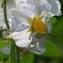Thierry Pernot - Solanum tuberosum L.