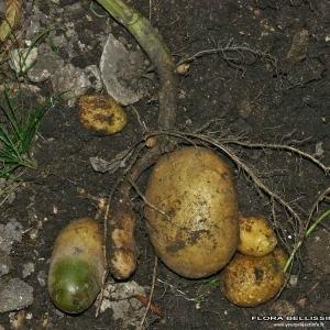 - Solanum tuberosum L.