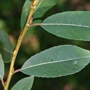 - Salix triandra L. [1753]