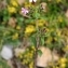 Thierry Pernot - Saponaria ocymoides L.