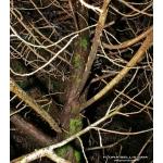 Thuja occidentalis L. (Thuya occidental)