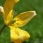 Thierry Pernot - Tulipa sylvestris L.
