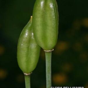 Tulipa sylvestris L. [1753] (Tulipe des bois)