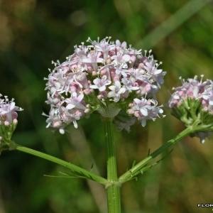Photographie n°176226 du taxon Valeriana officinalis L.