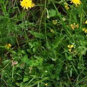 Photographie n°176260 du taxon Tolpis staticifolia (All.) Sch.Bip.