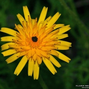 Photographie n°176261 du taxon Tolpis staticifolia (All.) Sch.Bip.