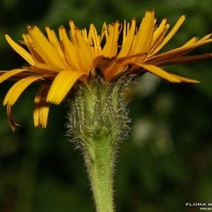 Photographie n°176262 du taxon Tolpis staticifolia (All.) Sch.Bip.