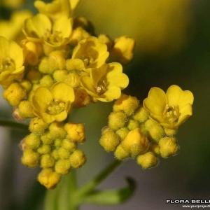 Aurinia saxatilis (L.) Desv. (Aurinie des rochers)