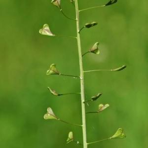 Photographie n°176362 du taxon Capsella bursa-pastoris (L.) Medik.