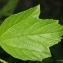 Thierry Pernot - Viburnum opulus L.