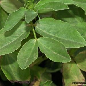 Photographie n°176472 du taxon Vicia faba L.