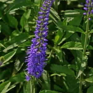 Photographie n°176495 du taxon Veronica longifolia L.