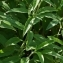 Thierry Pernot - Veronica longifolia L.