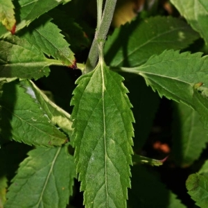 Photographie n°176497 du taxon Veronica longifolia L.