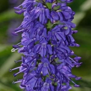 Veronica longifolia L. (Véronique à feuilles longues)