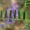 Thierry Pernot - Vicia tenuifolia Roth