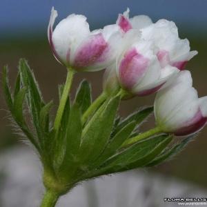 Photographie n°176616 du taxon Anemone L.