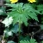 Thierry Pernot - Anemone ranunculoides L.