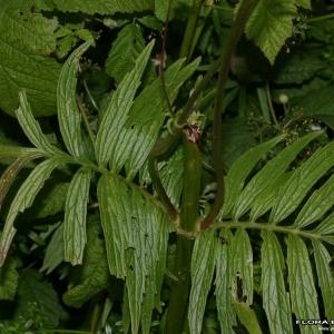 Photographie n°176625 du taxon Valeriana officinalis L.