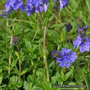 Photographie n°176721 du taxon Veronica austriaca L.