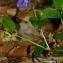 Thierry Pernot - Viola riviniana Rchb.