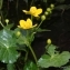 Thierry Pernot - Caltha palustris L. [1753]