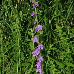 Photographie n°176965 du taxon Campanula rapunculoides L.