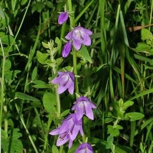 Photographie n°176968 du taxon Campanula rapunculoides L.