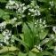 Thierry Pernot - Allium ursinum L.