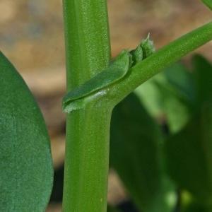 Photographie n°177029 du taxon Vicia faba L.