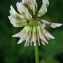 Thierry Pernot - Trifolium repens L. [1753]