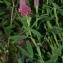 Thierry Pernot - Trifolium rubens L. [1753]