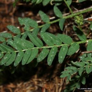 - Oxytropis campestris (L.) DC. [1802]