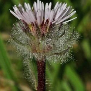Photographie n°177182 du taxon Erigeron uniflorus L.
