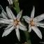 Thierry Pernot - Asphodelus ramosus L.