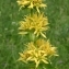 Thierry Pernot - Gentiana lutea L.
