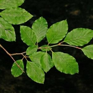 Photographie n°177432 du taxon Fagus sylvatica L.