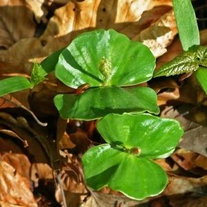Photographie n°177435 du taxon Fagus sylvatica L.