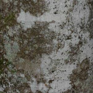 Photographie n°177437 du taxon Fagus sylvatica L.