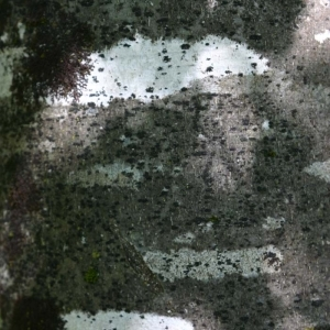 Photographie n°177438 du taxon Fagus sylvatica L.