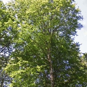 Photographie n°177441 du taxon Fagus sylvatica L.