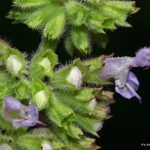 Salvia verticillata L. [1753] (Sauge verticillée)