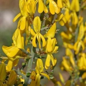 Ulex parviflorus Pourr. (Ajonc à petites fleurs)
