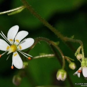 Photographie n°177537 du taxon Saxifraga cuneifolia L.