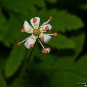 Photographie n°177538 du taxon Saxifraga cuneifolia L.