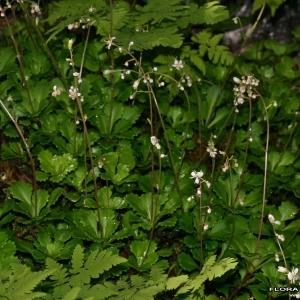Photographie n°177540 du taxon Saxifraga cuneifolia L.