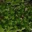 Thierry Pernot - Saxifraga cuneifolia L.