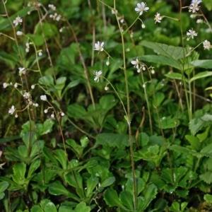 Photographie n°177541 du taxon Saxifraga cuneifolia L.