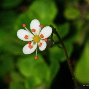 Saxifraga cuneifolia L. (Désespoir du peintre)
