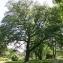 Thierry Pernot - Quercus robur L.